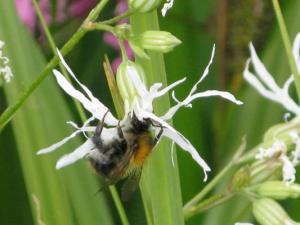 Drinking nectar, Marston Marsh